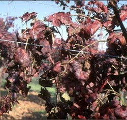 Vines affected by Baco 22A disease