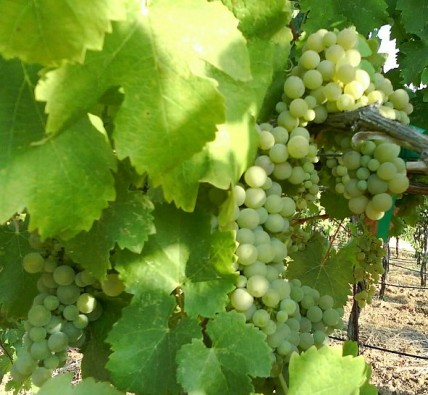 Jefford on Monday: Viognier