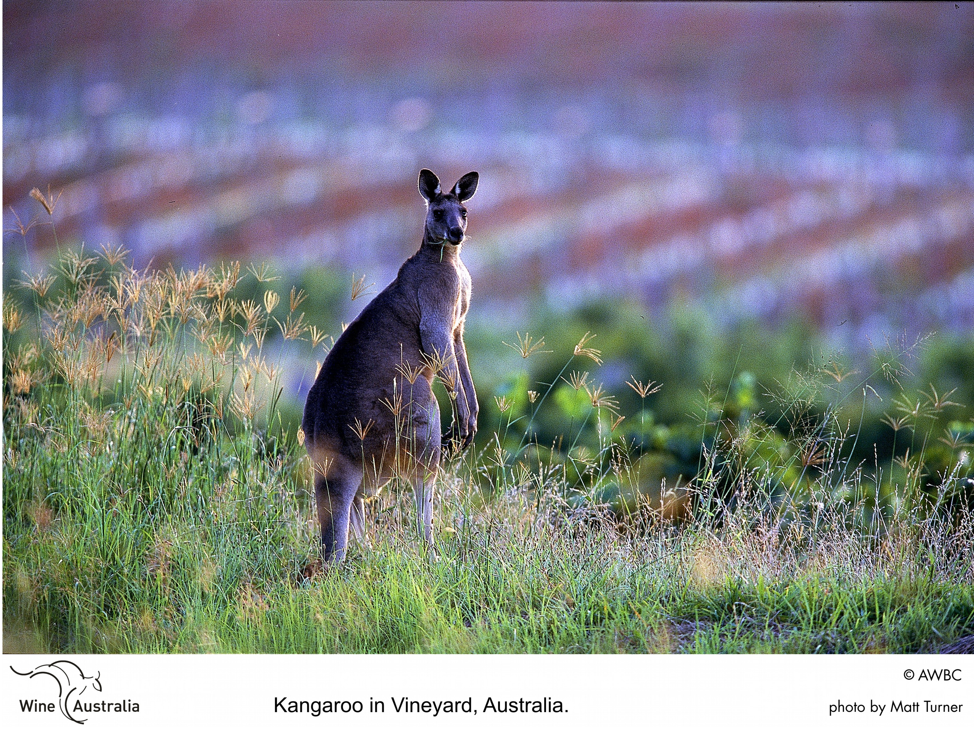 "australian wine industry The australian wine industry length: 3000 words ""the australian wine industry is facing one of its greatest challenges in living memory – to compete on a global stage with quality wines that are accessible to the mass market, without jeopardising the livelihoods of wine producers, the communities they serve or the environment upon which they rely."