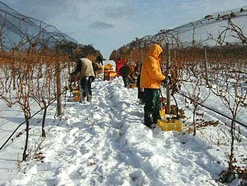 icewine