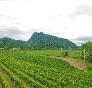 Thailand vineyard