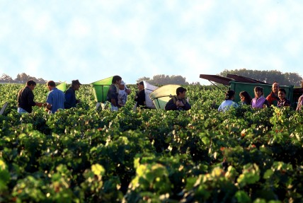 Bordeaux 2011 picture of Chateau Lafite Rothschild grape harvest
