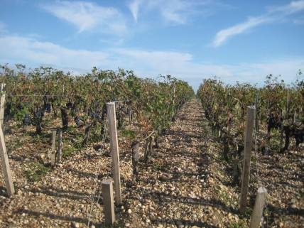 Bordeaux 2011 picture of grape vines