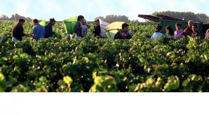 Bordeaux white harvest