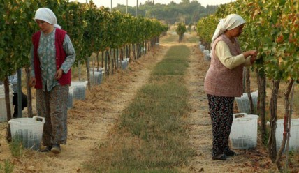 Turkish vineyard