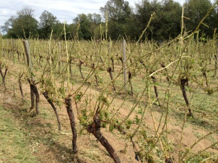 Hail-struck Bordeaux winemakers to top up with bulk AOC wine