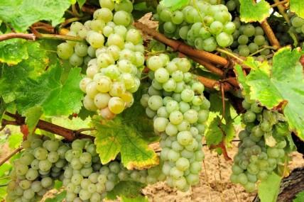 Sauternes producer says tenth of 2013 harvest stolen